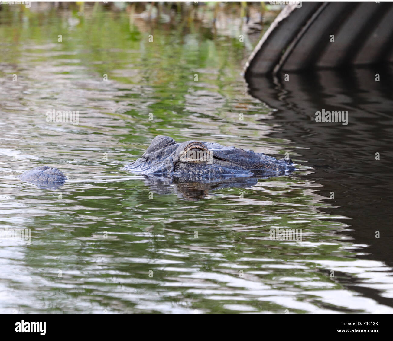 Alligator emerging from a drainpipe on a Florida waterway - Stock Image