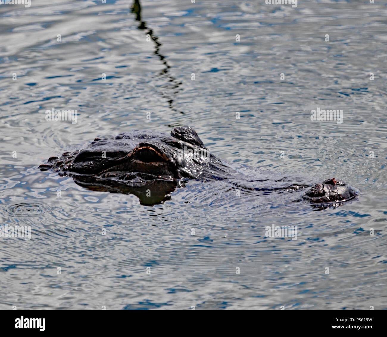 American Alligator submerged in lake water, Florida - Stock Image