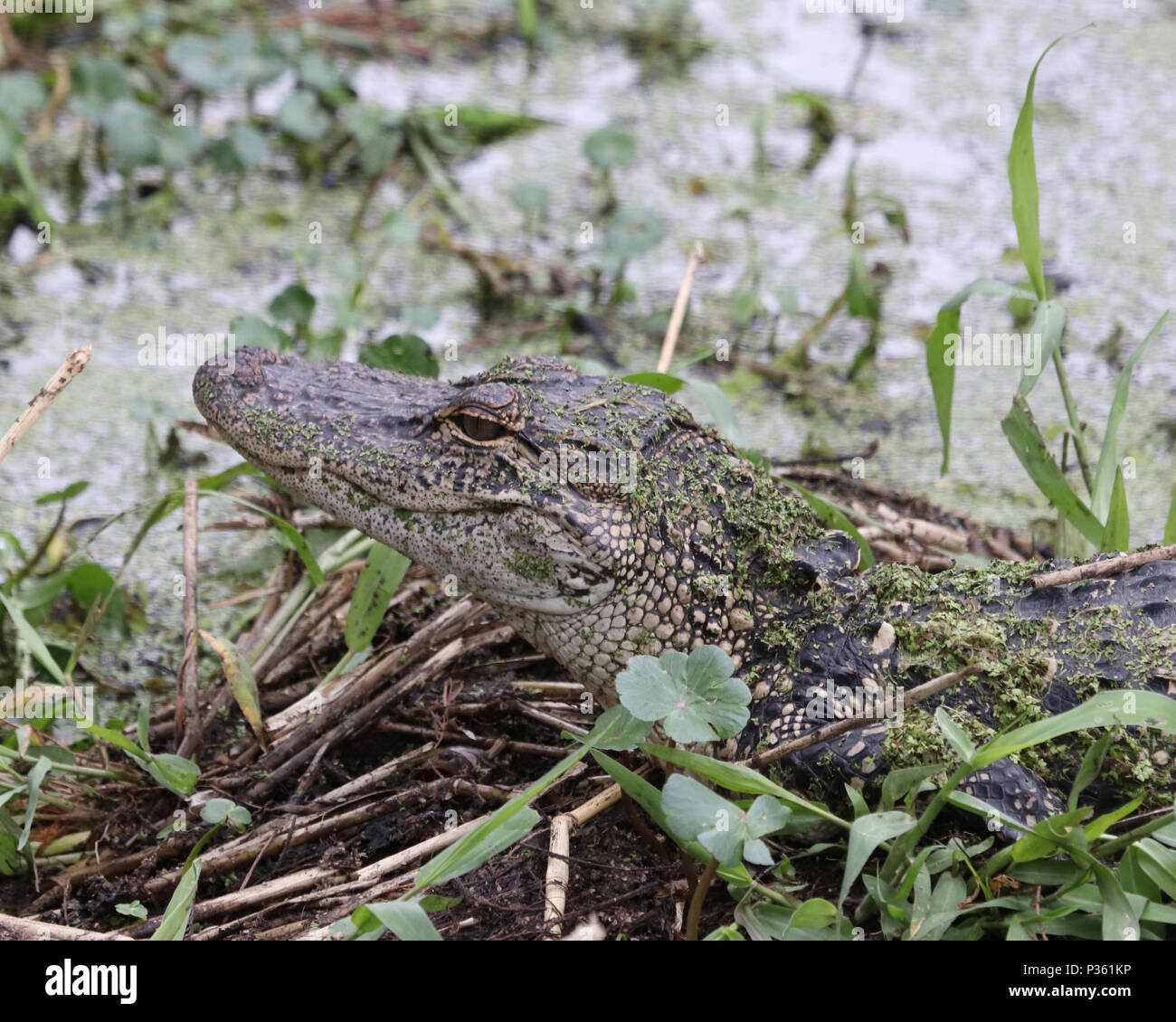 Alligator in profile looking over marshland - Stock Image