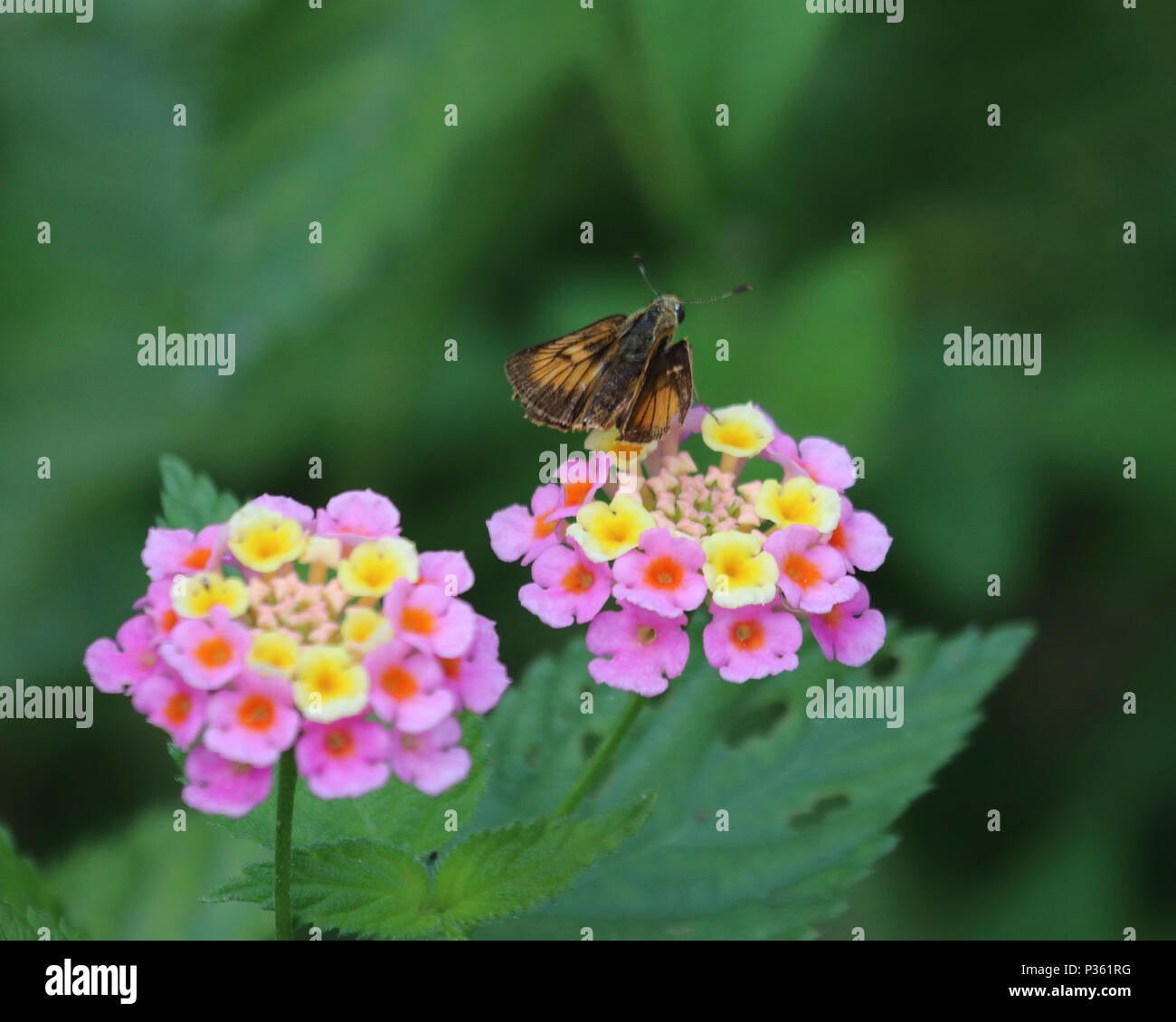 The Lantana flower is a colorful cluster  of star shaped flowers that attracts butterflies and moths - Stock Image
