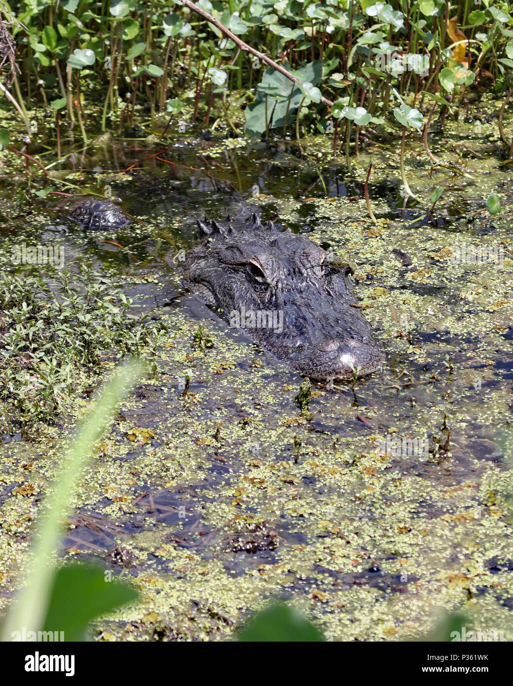 Even though the American Alligator is large, it does a good job of camouflaging itself in the Florida  swamps and marshlands - Stock Image