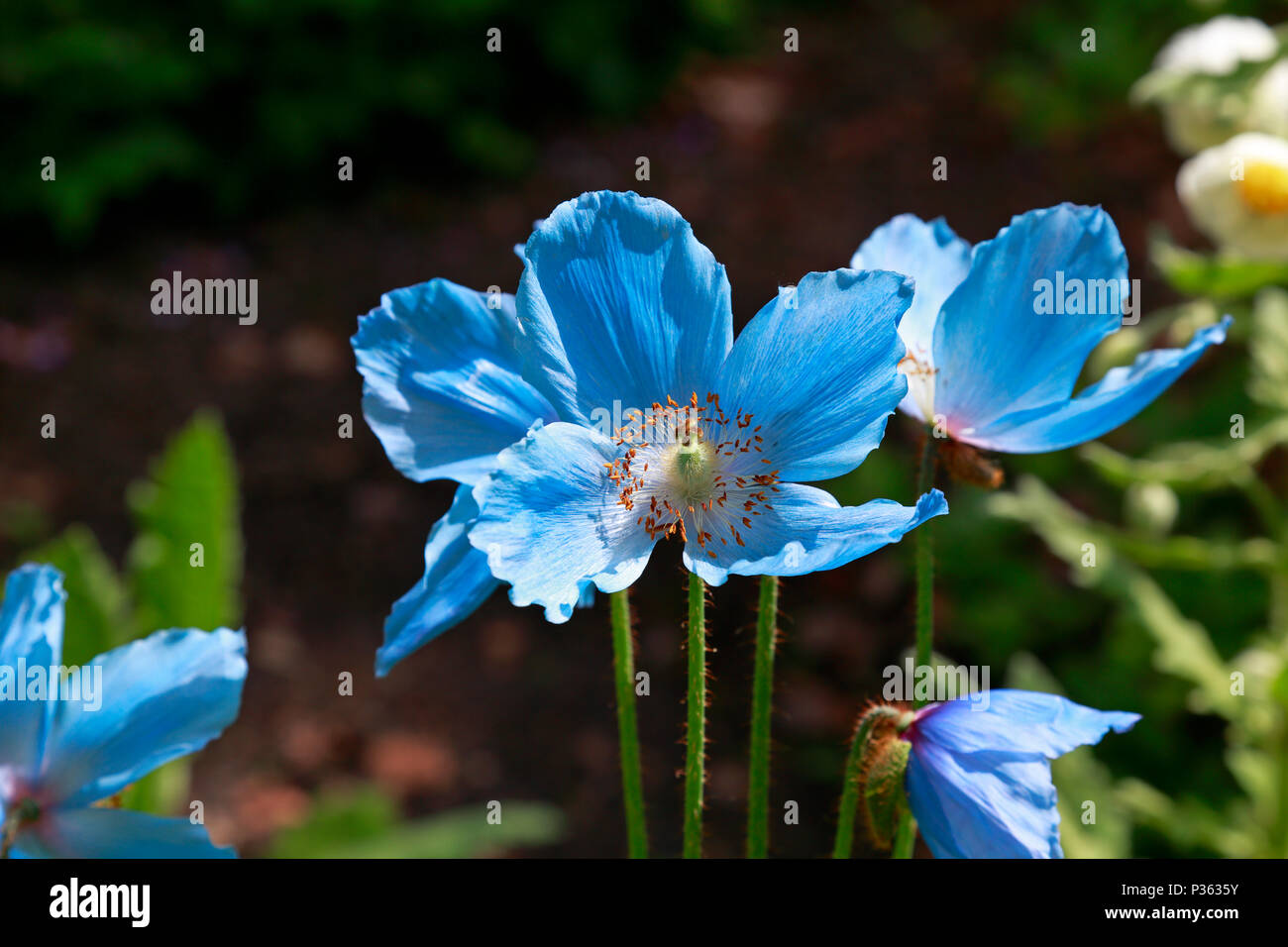 Himalayan poppy, Meconopsis Fertile Blue Group 'Lingholm' flowering in Sheffield Botanical Gardens, Sheffield, England, UK. - Stock Image
