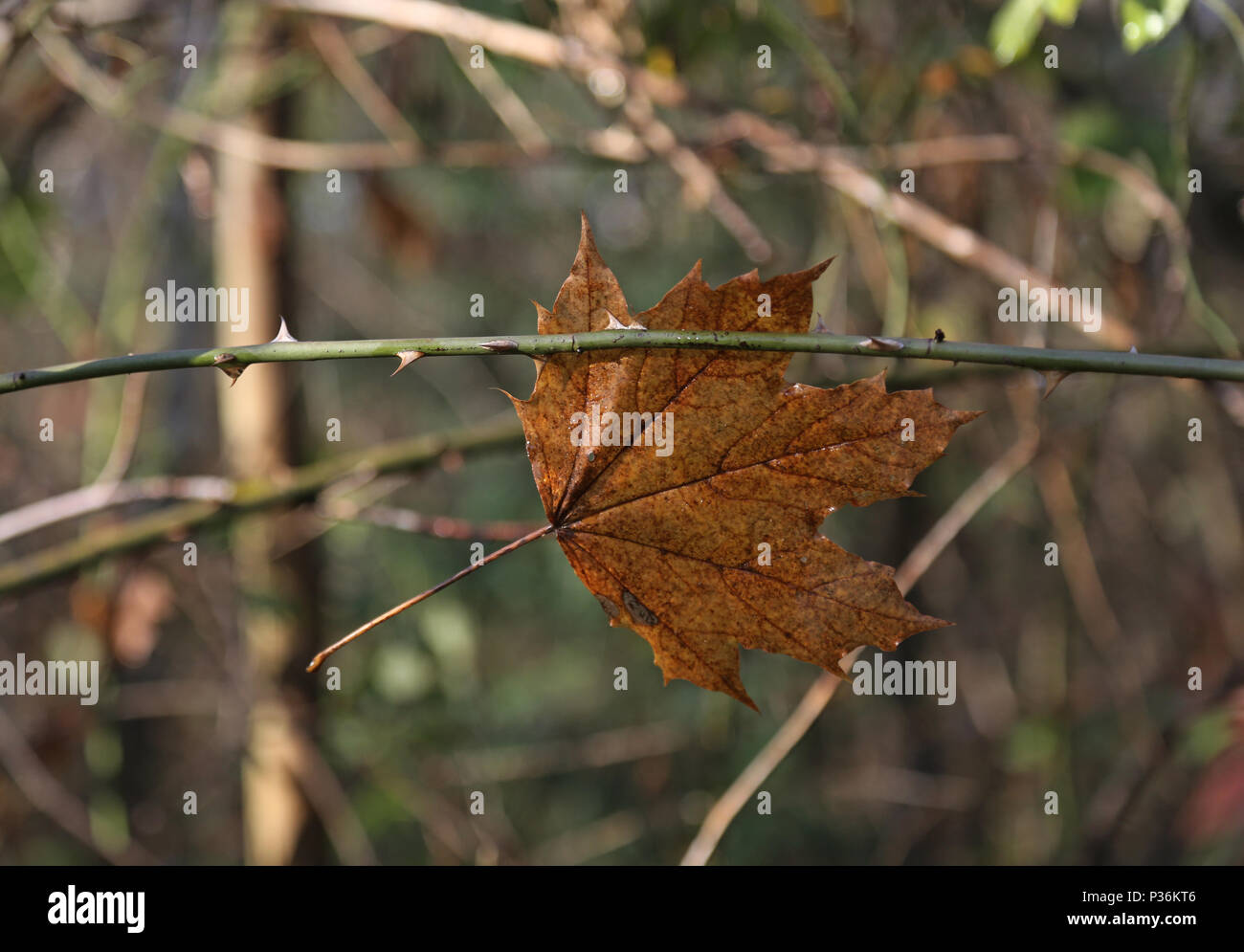 Berlin, Germany, withered maple leaf hangs on the spine of a rose branch - Stock Image
