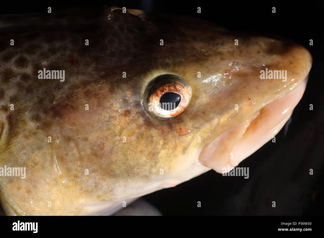 Wismar, Germany, head of a cod Stock Photo