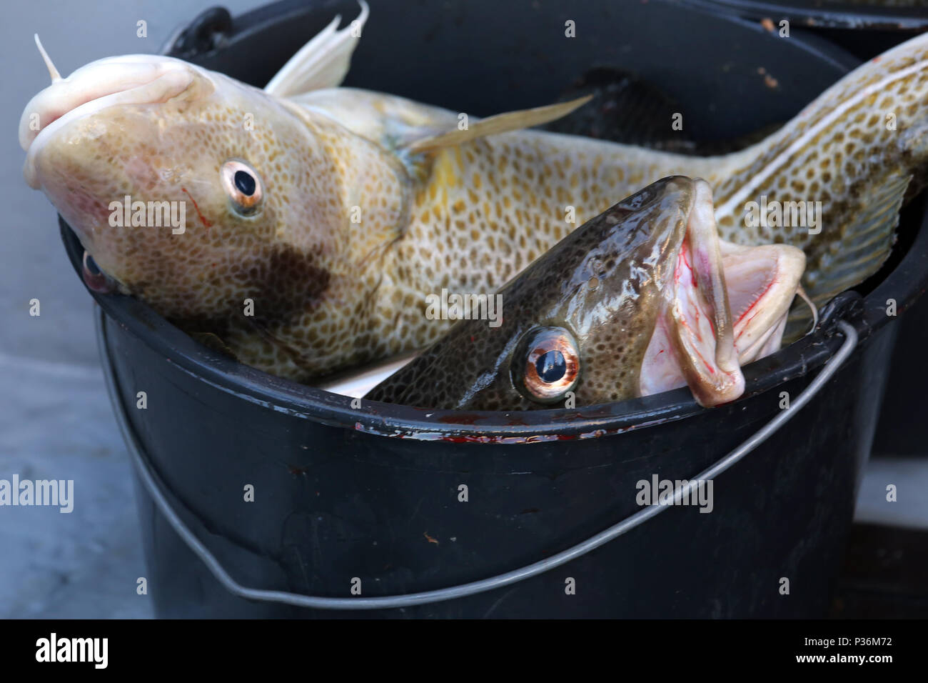 Wismar, Germany, freshly caught cod in a bucket - Stock Image