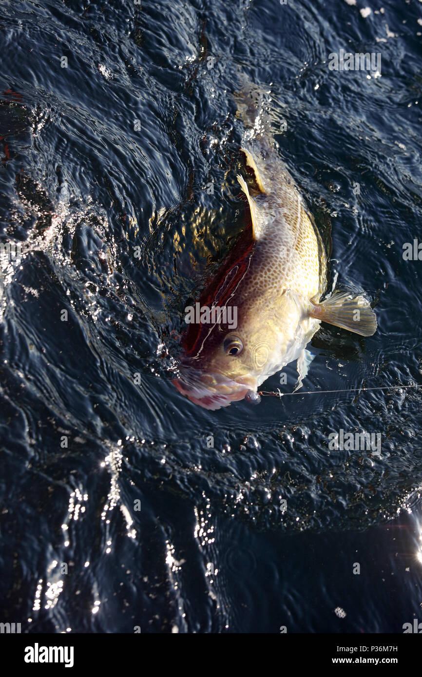 Wismar, Germany, a cod has bitten in deep-sea fishing - Stock Image