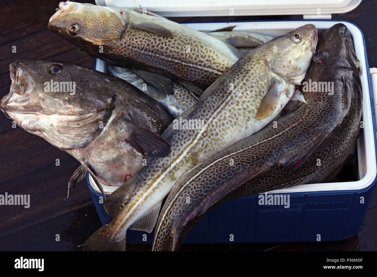 Wismar, Germany, freshly caught cod in a box - Stock Image