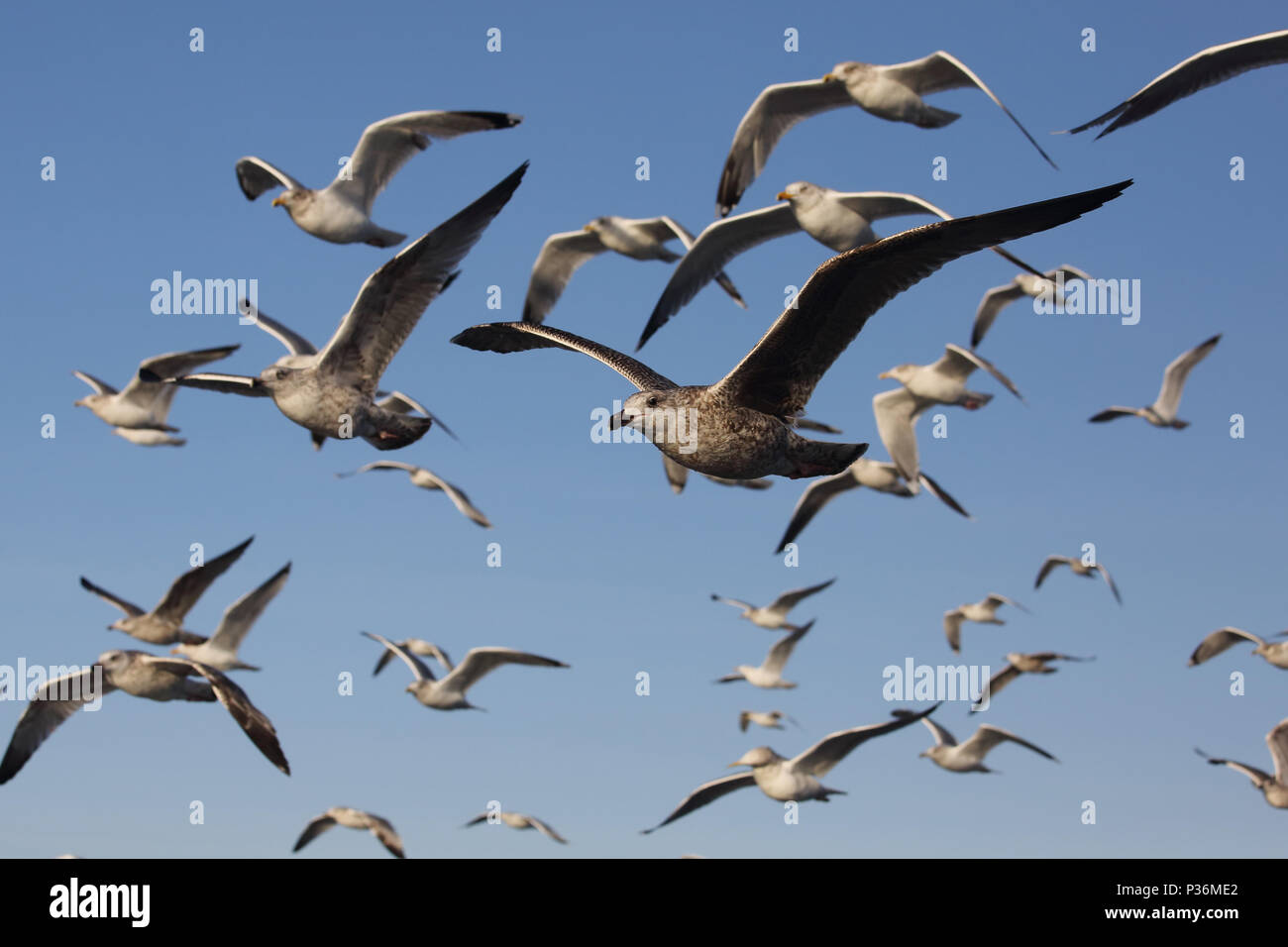 Wismar, Germany, Moewen in flight - Stock Image