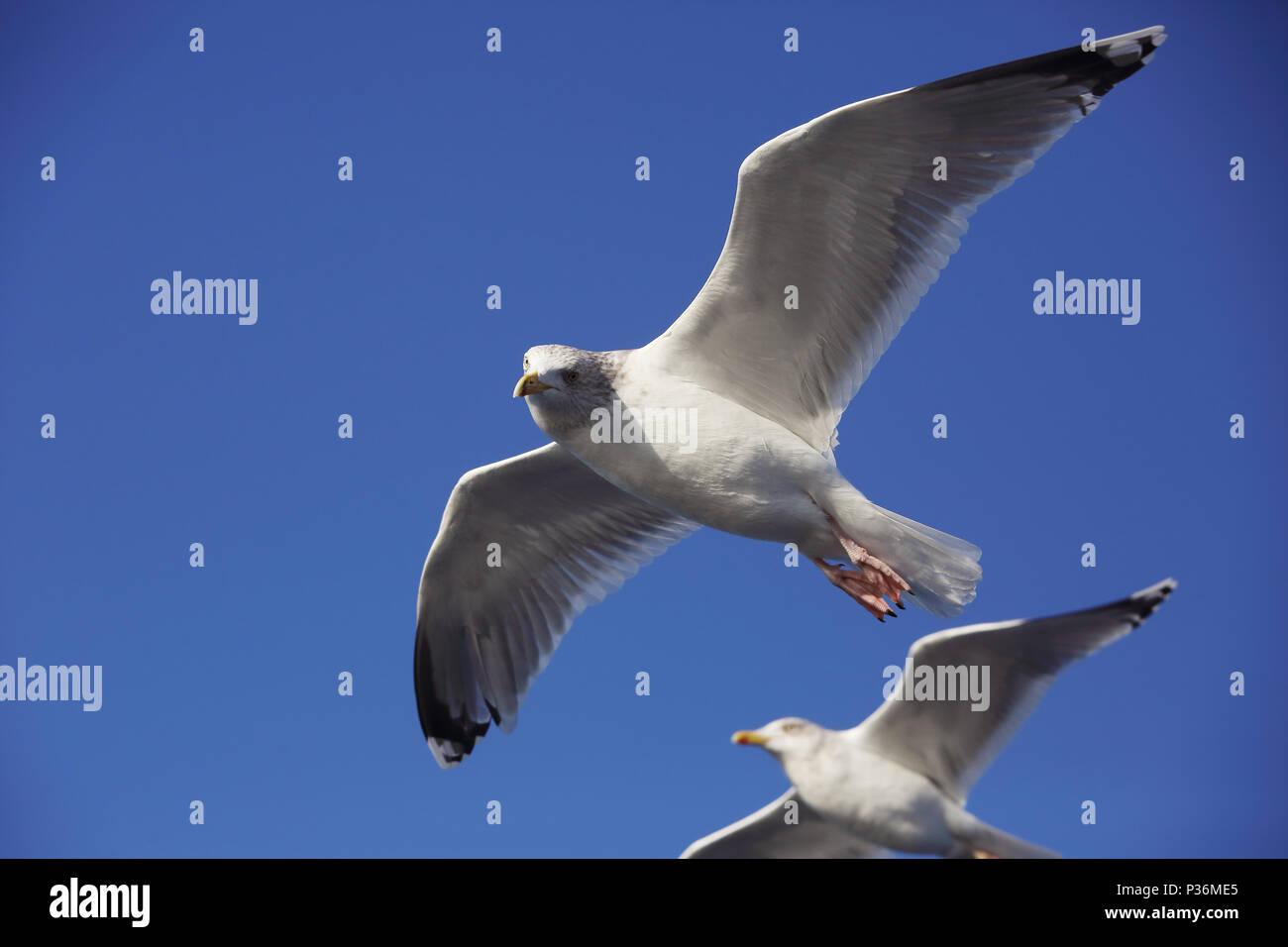 Wismar, Germany, Silbermoewen in flight - Stock Image