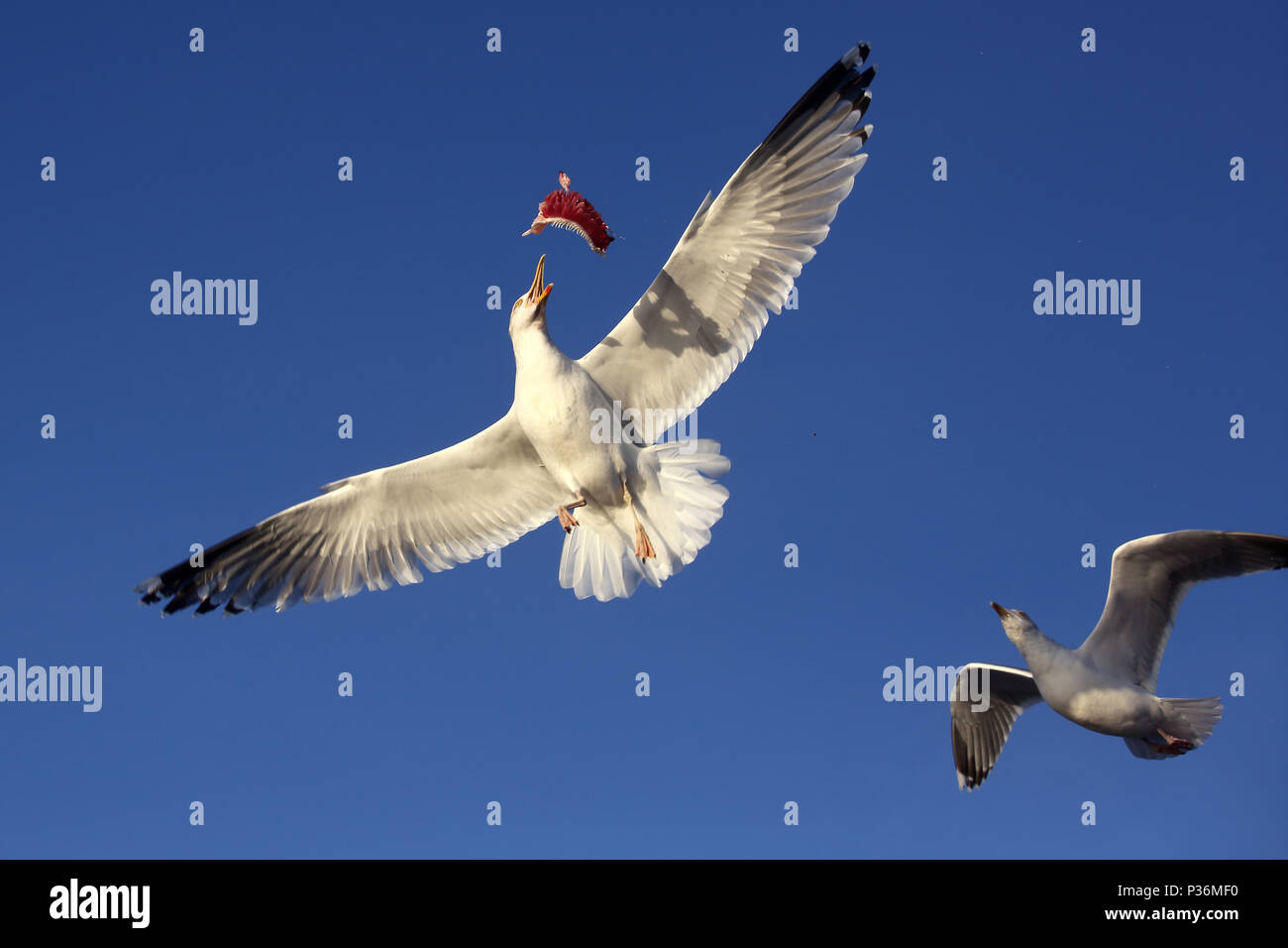 Wismar, Germany, Silbermoewe caught in flight a piece of fish - Stock Image