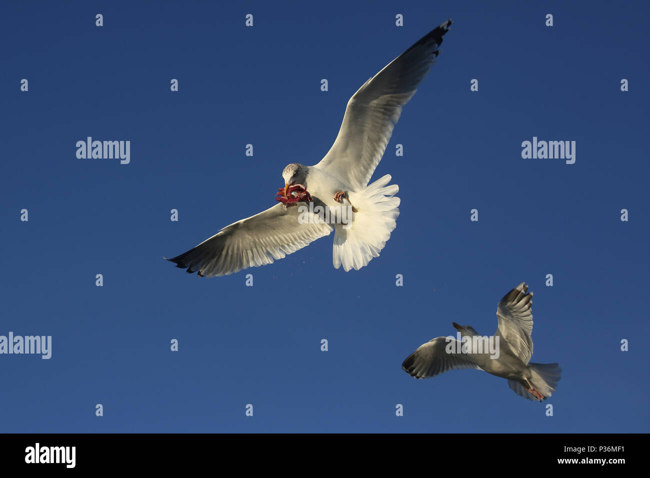Wismar, Germany, Silbermoewe in flight with a piece of fish in its beak - Stock Image