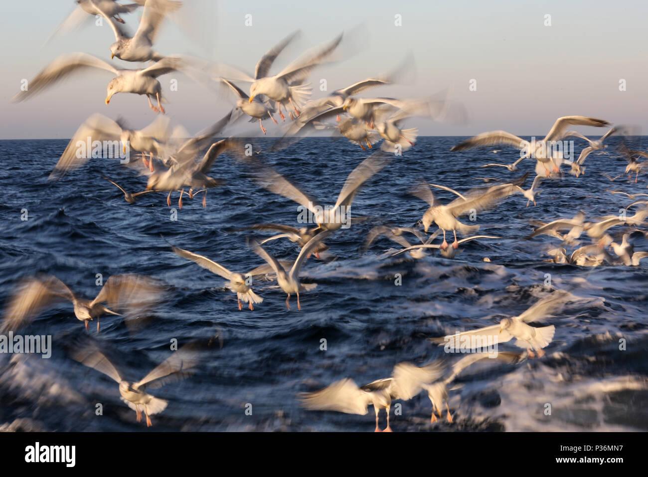 Wismar, Germany, Moewen in flight over the Baltic Sea - Stock Image