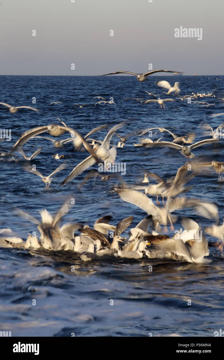 Wismar, Germany, Moewen on the Baltic Sea on feed - Stock Image