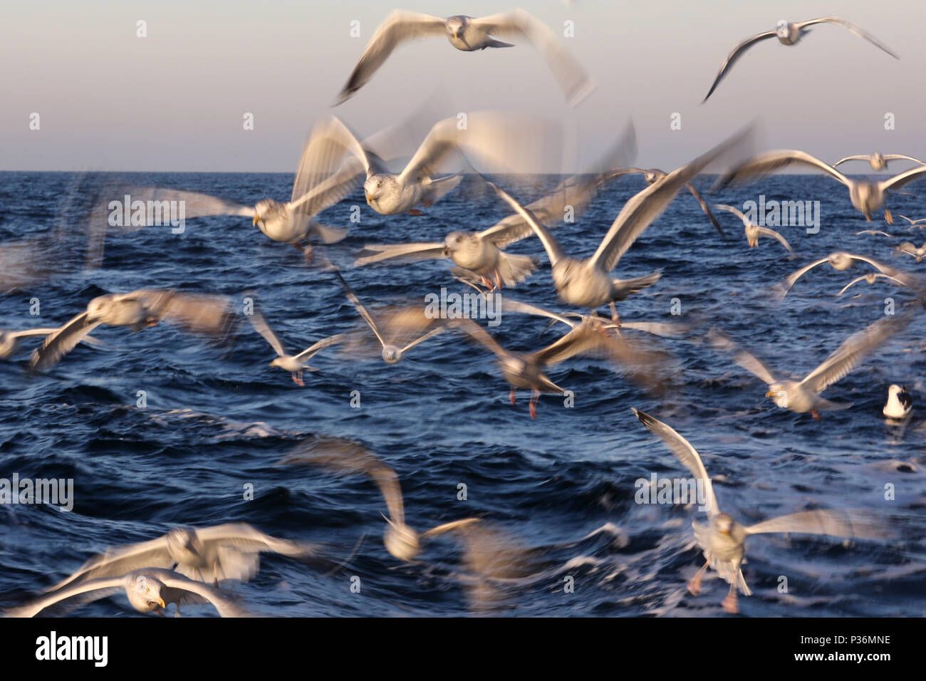 Wismar, Germany, Moewen in flight over the Baltic Sea - Stock Image