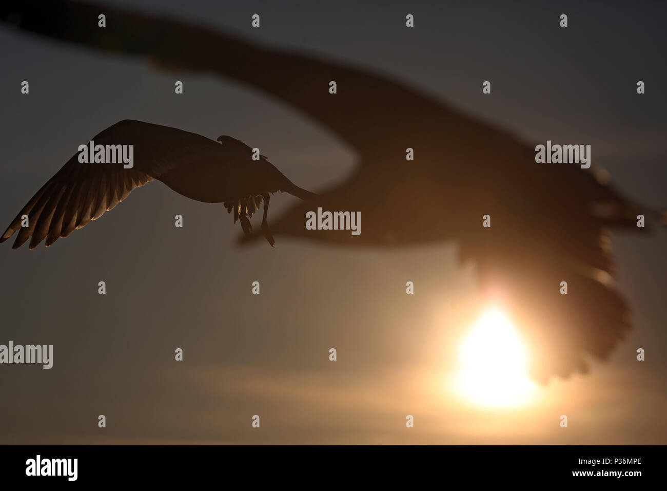 Wismar, Germany, Silhouette, Silbermoewen in flight in the backlight of the sun - Stock Image
