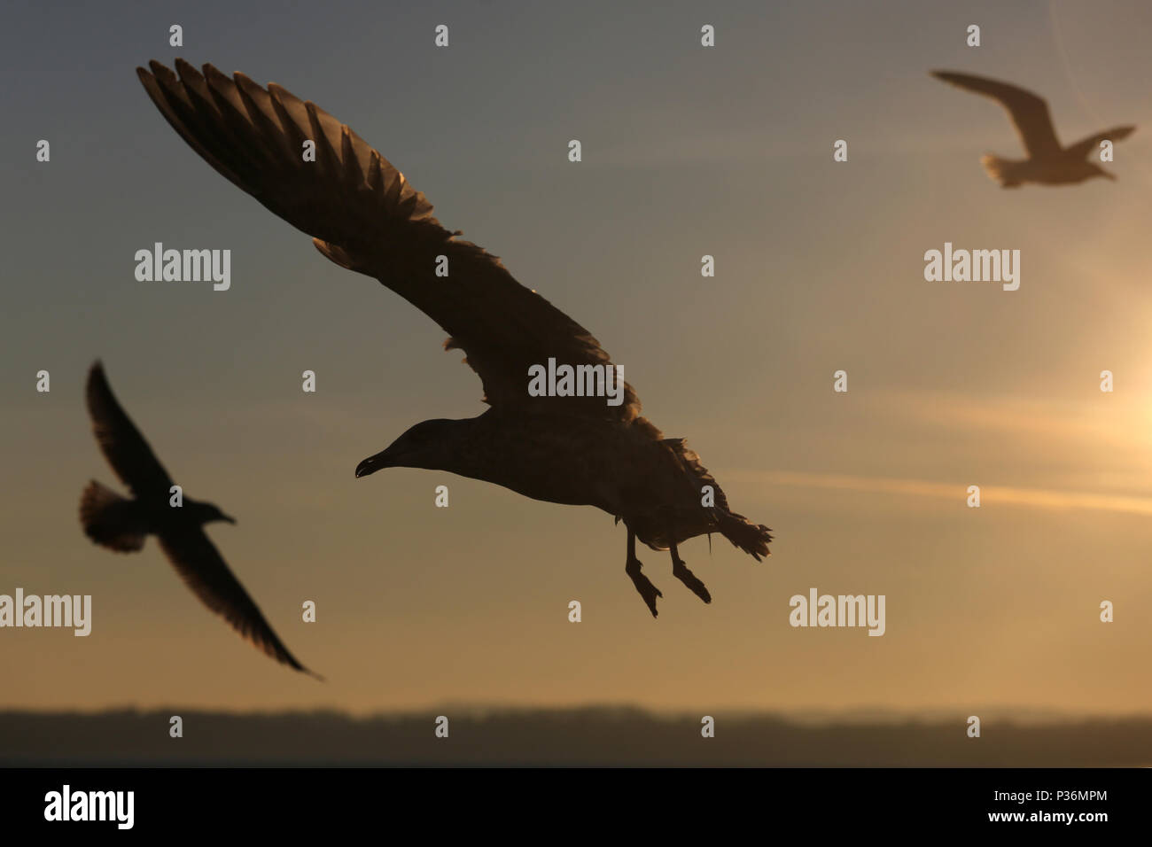 Wismar, Germany, silhouettes, Silbermoewen in flight - Stock Image
