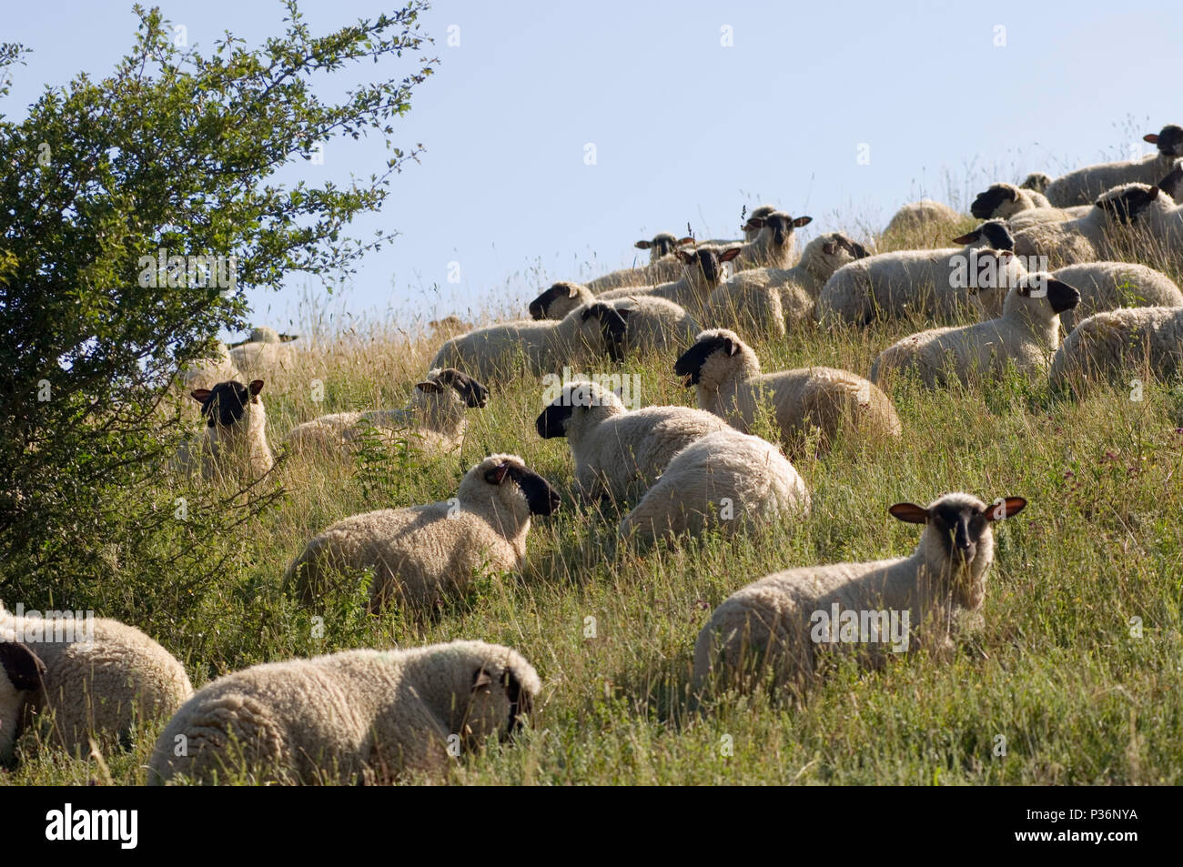 Gager, Germany, sheep in the pastures - Stock Image