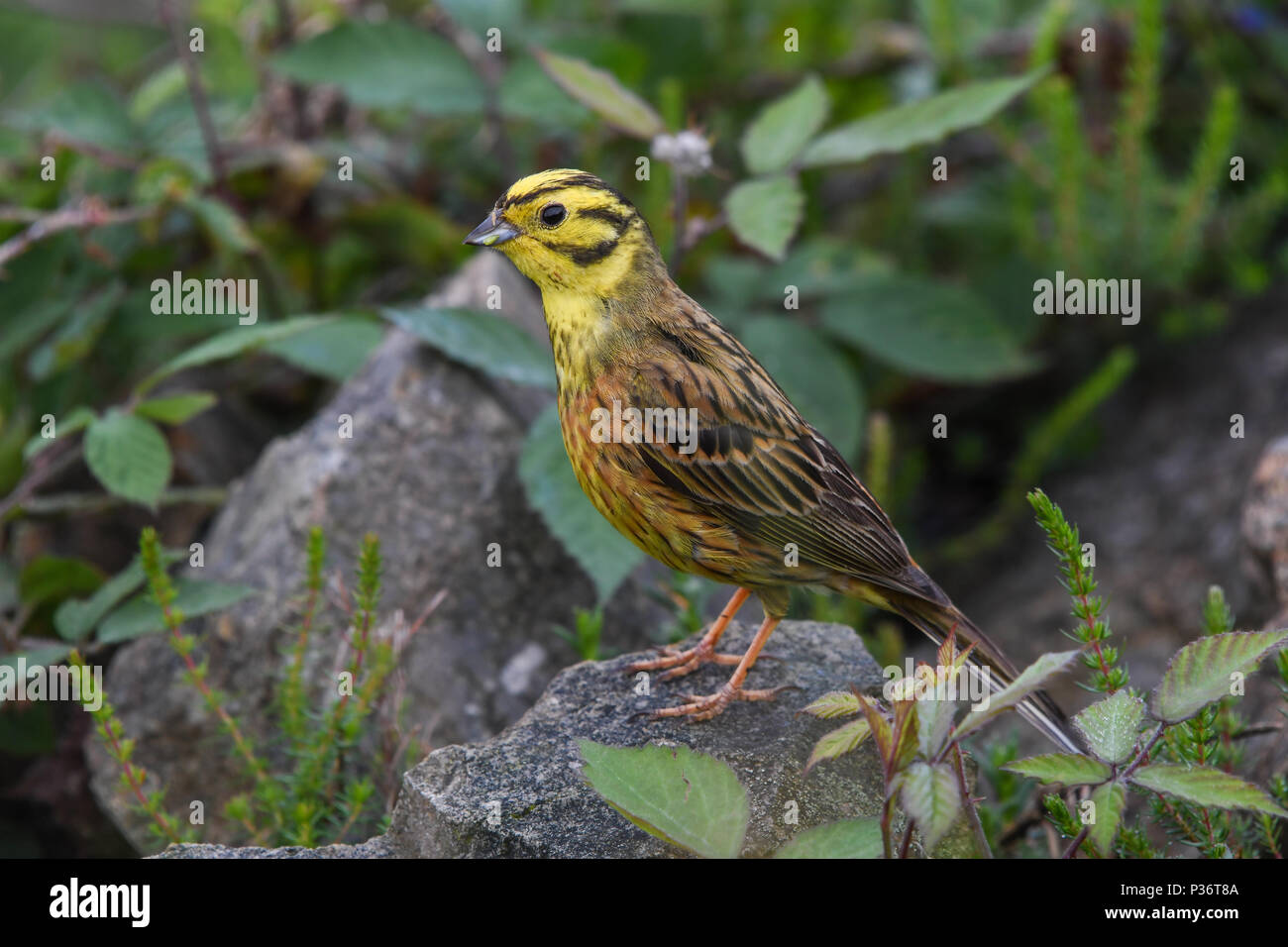 Close-up of yellowhammer perched on a stone Stock Photo
