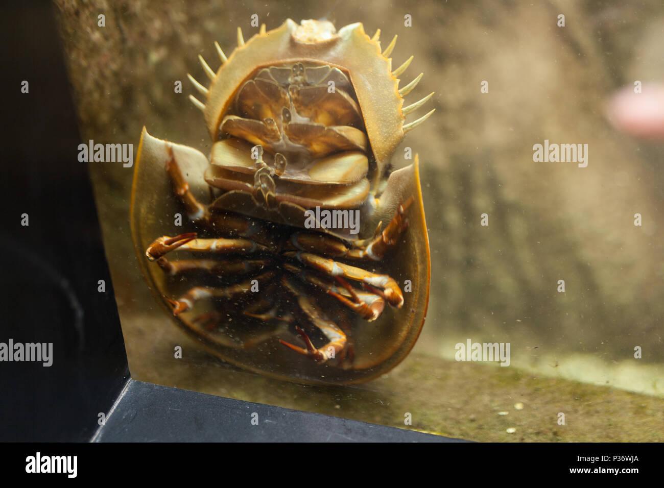 Terrifying Sea Beast: Bathynomus giganteus or Giant isopod Horseshoe crabs are marine arthropods of the family Limulidae, suborder Xiphosurida - Stock Image