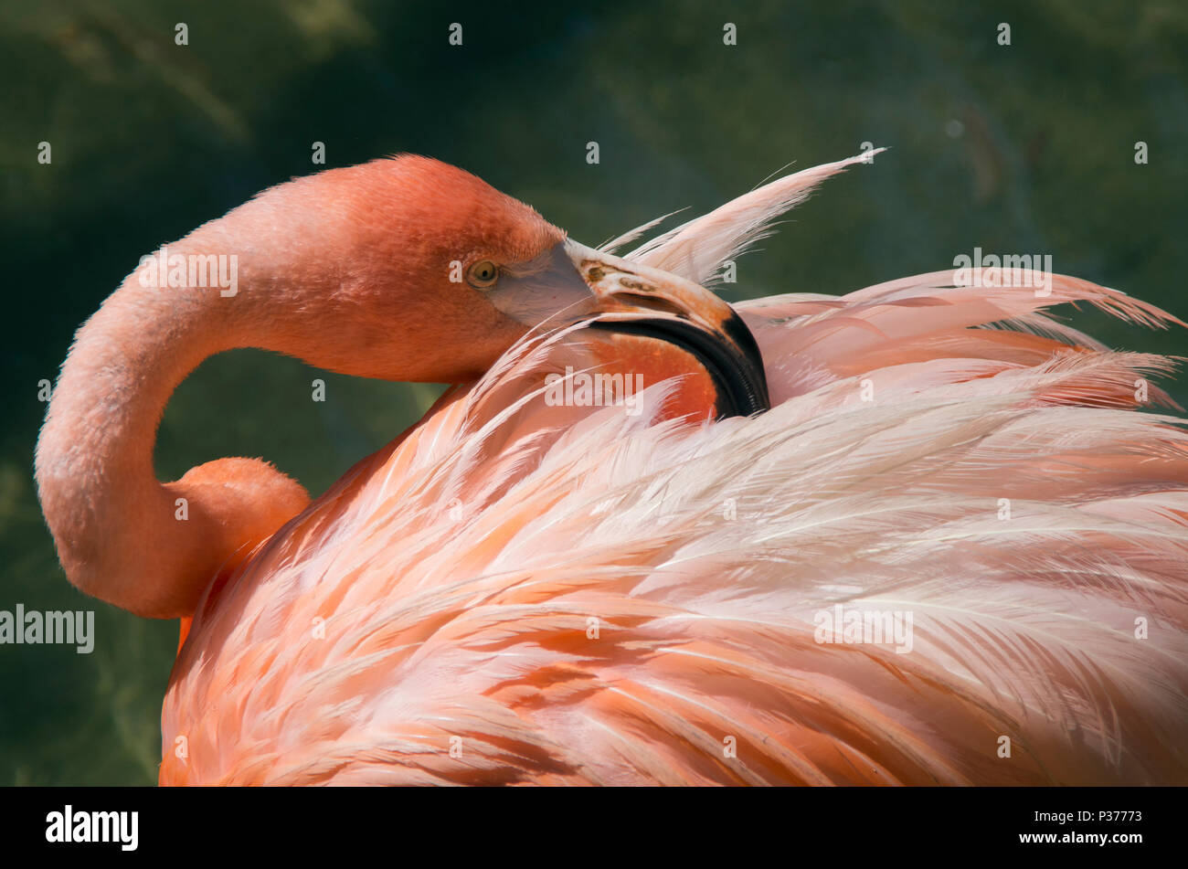 A Flamingo searches its feathers for parasites in a bird park located in Scotland Neck,North Carolina - Stock Image