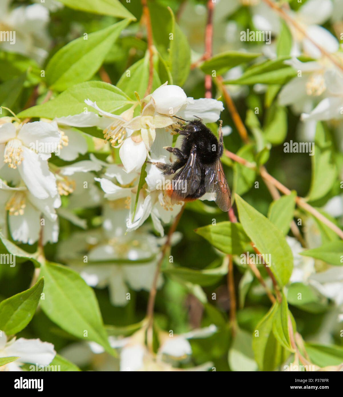 BUMBLEBEE at Jasmine 2018 - Stock Image