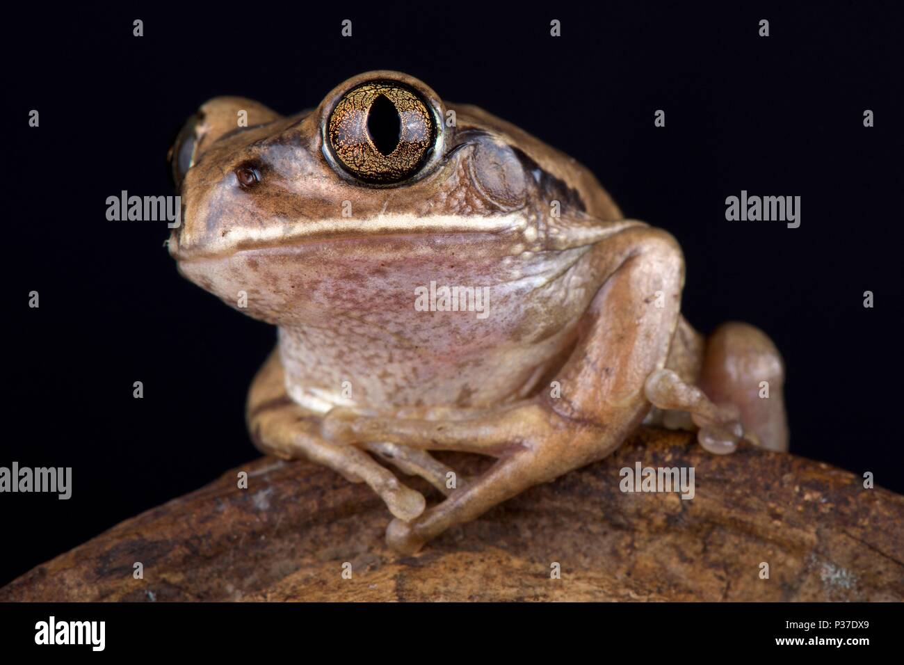 The Mozambique tree frog (Leptopelis mossambicus) is a large tree frog species found in Southern Africa. - Stock Image