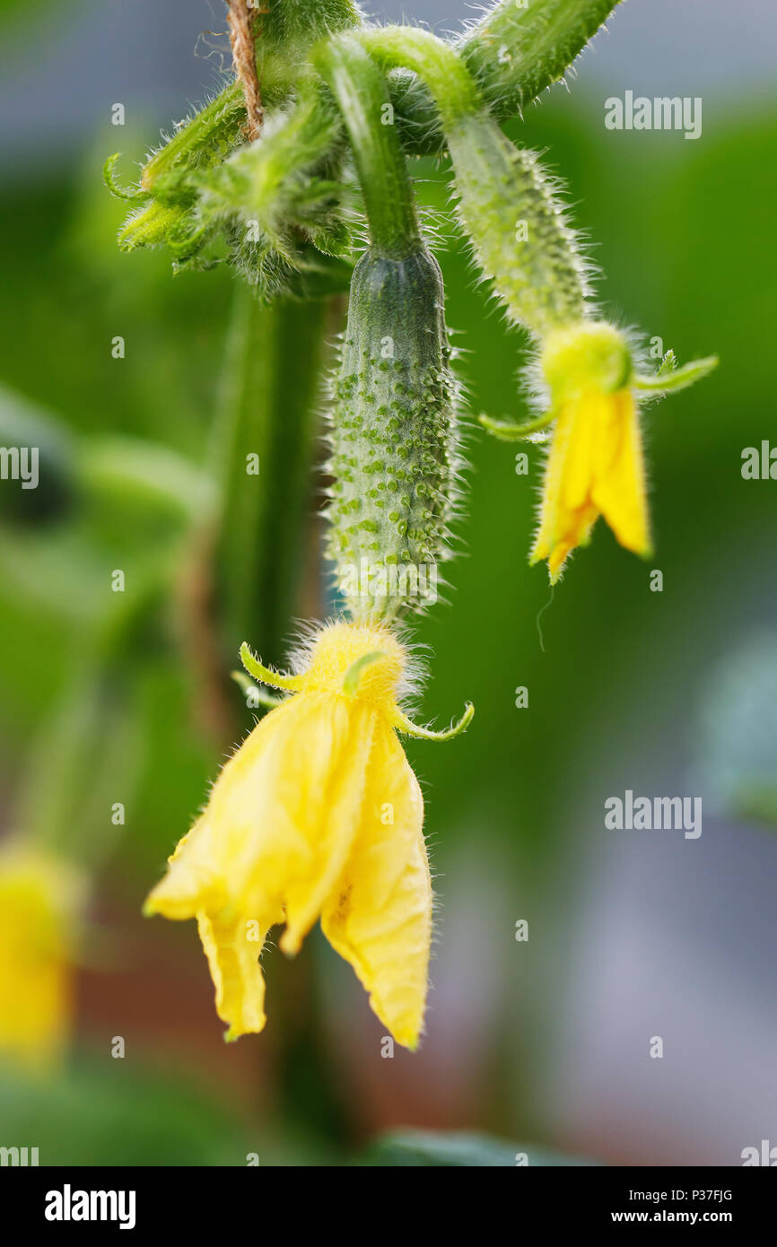 Young Plant Cucumber With Yellow Flowers Juicy Fresh Cucumber