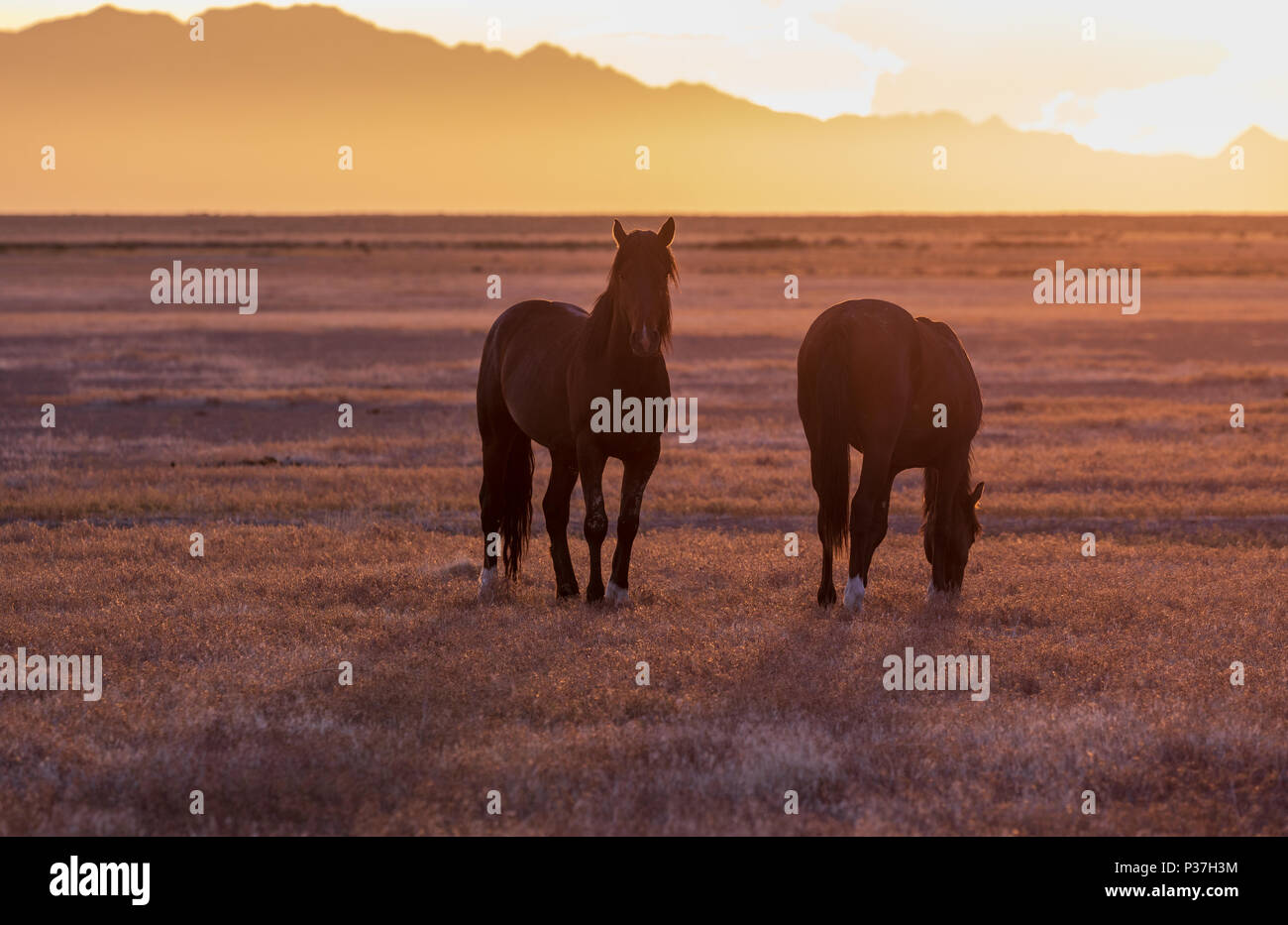 Wild Horses Silhouetted at Sunset Stock Photo