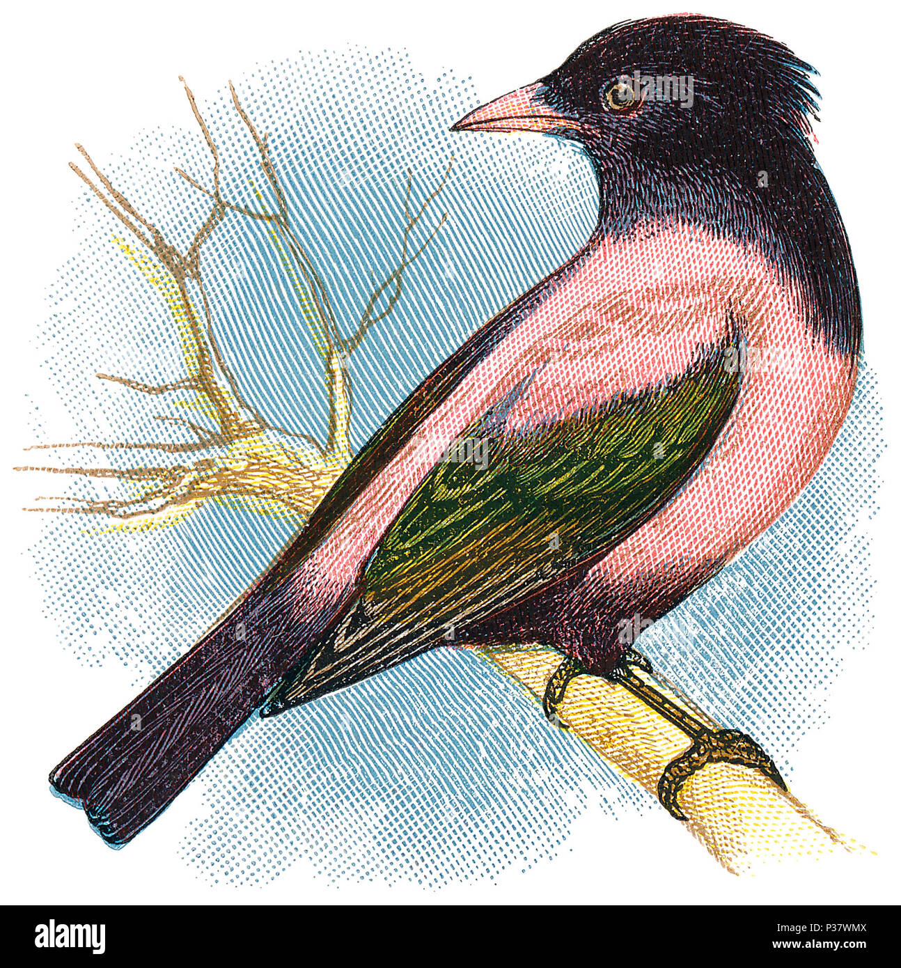 1898 colour engraving of rosy starling or rose-coloured starling (pastor roseus). - Stock Image