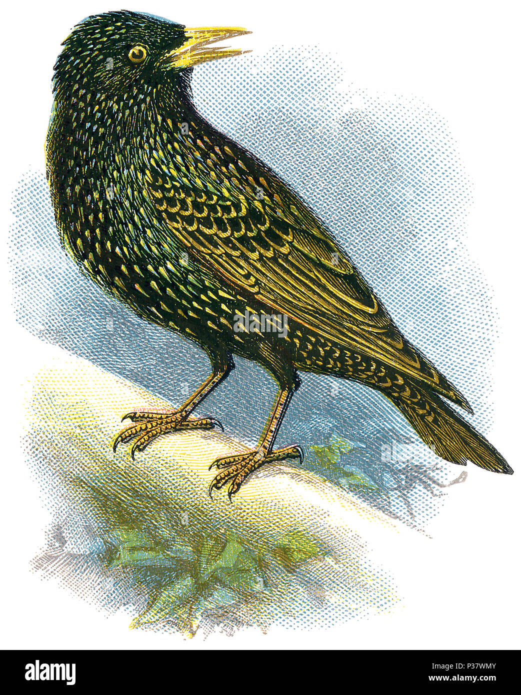 1898 colour engraving of a common starling or European starling (sturnus vulgaris). - Stock Image