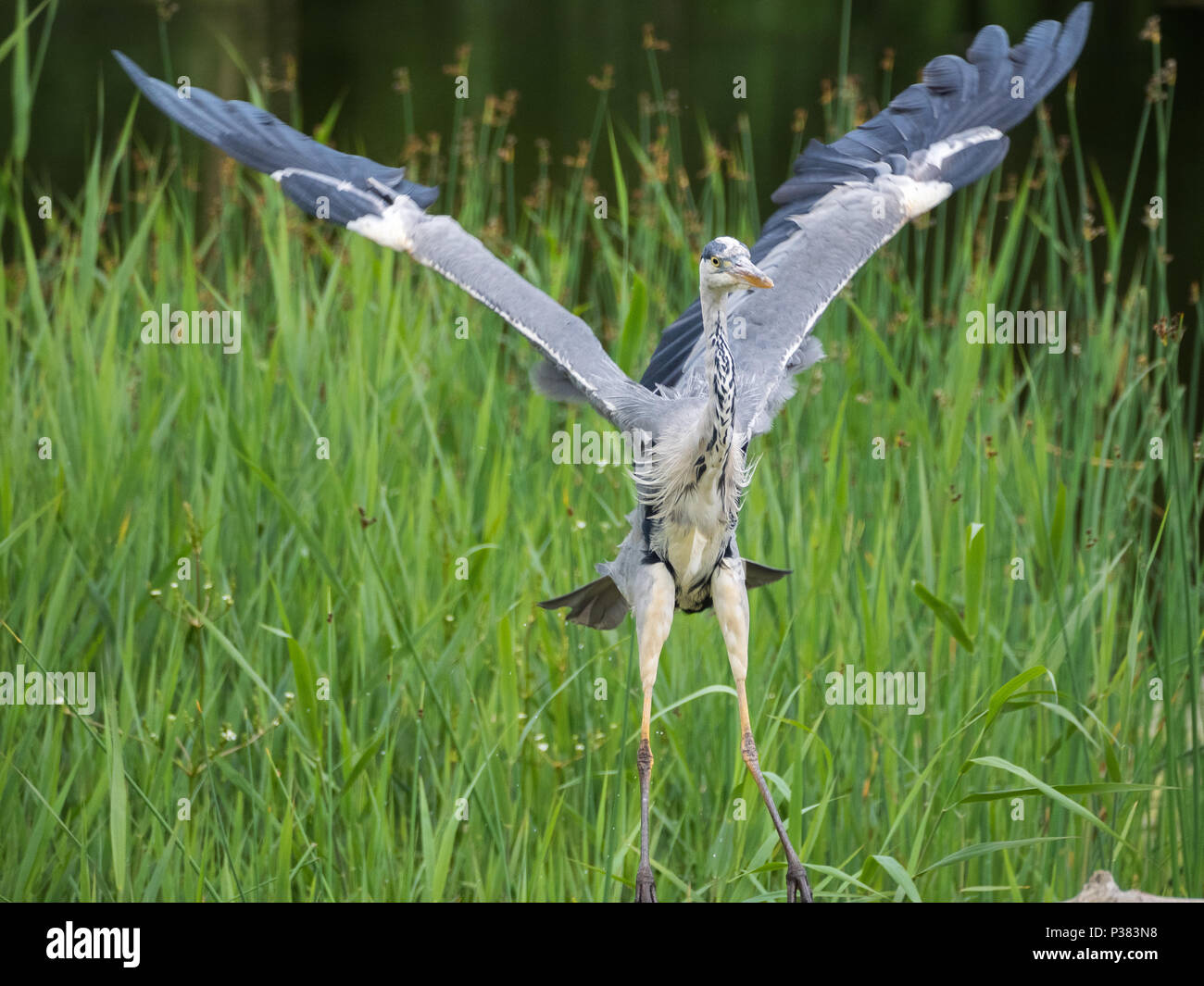 Grey Heron, Teifi Marshes, Wales Stock Photo