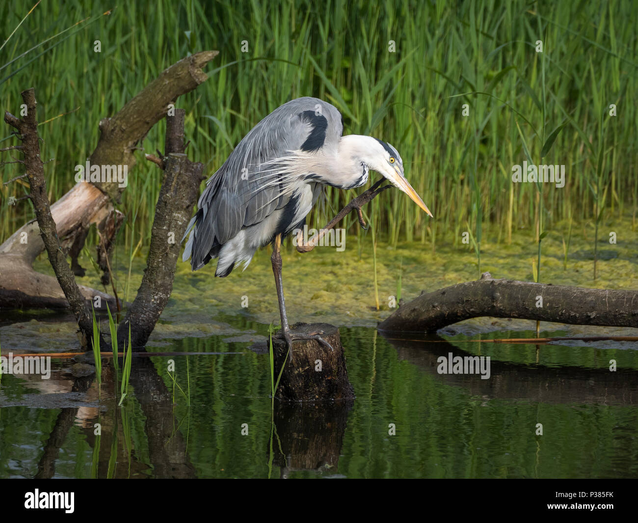 Grey Heron, Teifi Marshes, Wales Stock Photo