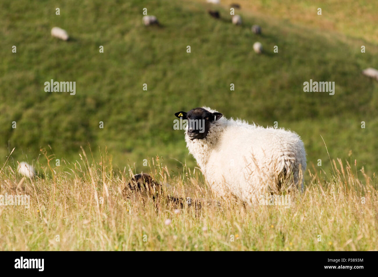 Gager, Germany, sheep grazing in the meadows of the Biosphere Reserve Suedost-Ruegen - Stock Image