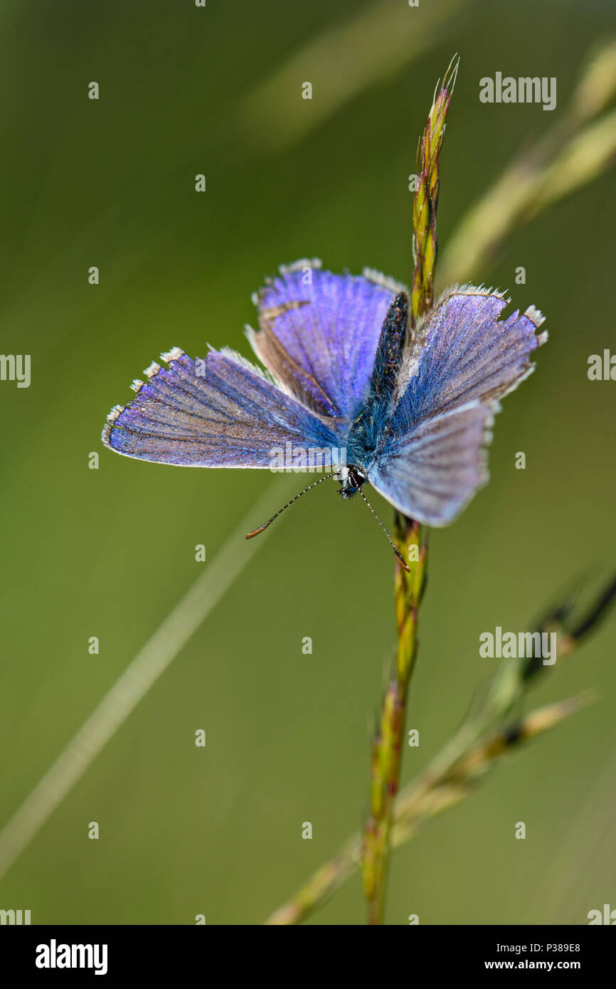 Chapman's Blue - Polyommatus thersites, beautiful small blue butterfly from European meadows. - Stock Image