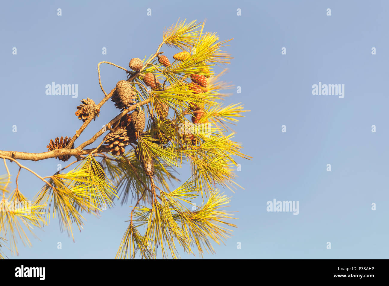 Pine branch with cones on sky background with textspace. Vintage style. - Stock Image