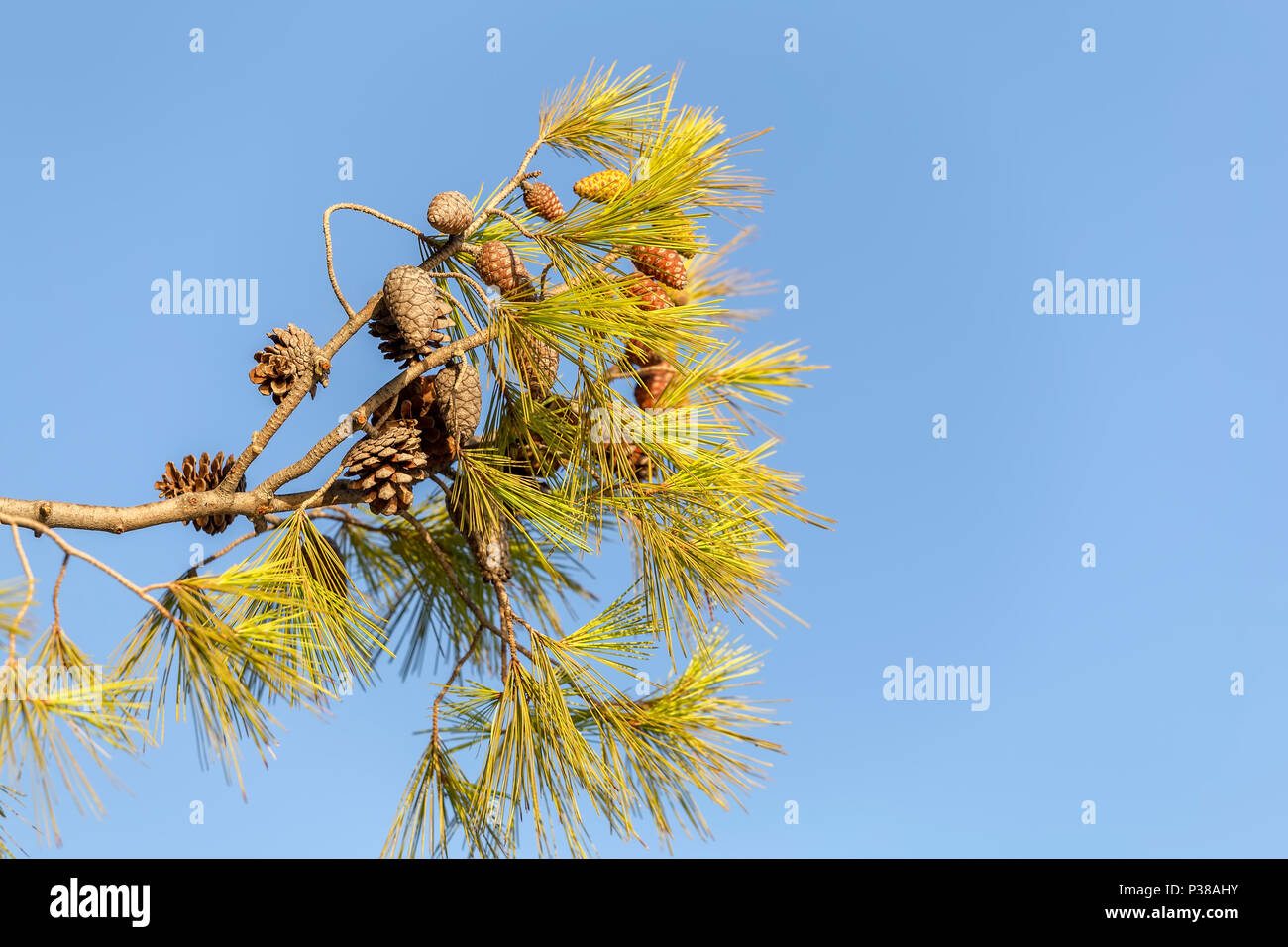 Pine branch with cones on sky background with textspace. - Stock Image