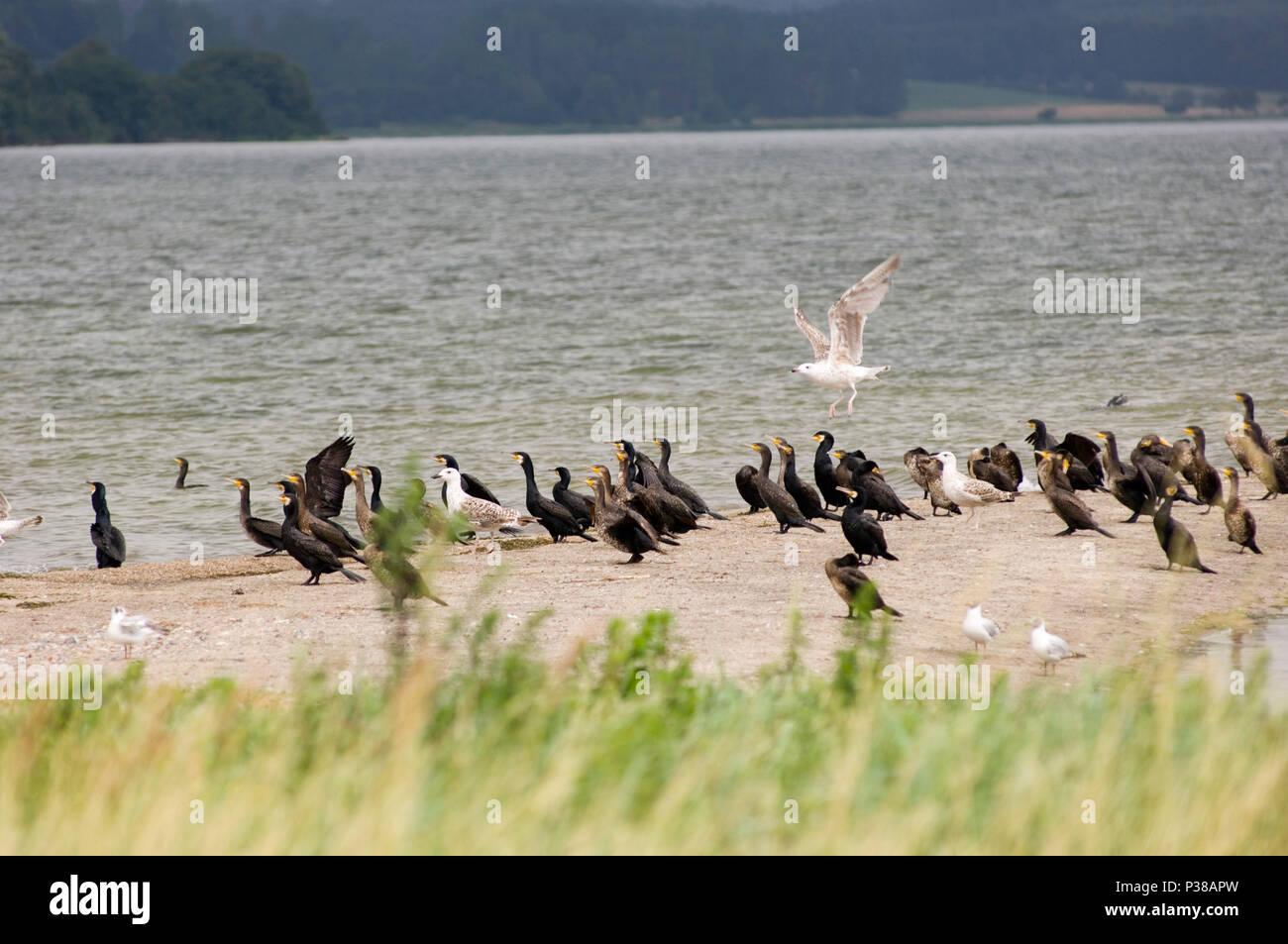 Lauterbach, Germany, Cormorants on the coast of Vilm - Stock Image
