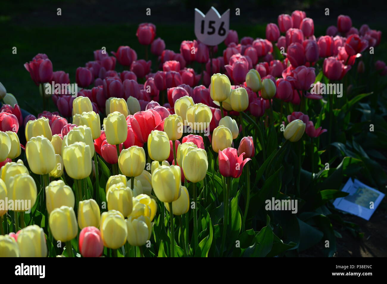 Apricot Impression and Delight Tulips at Veldheer Tulip Garden in Holland - Stock Image