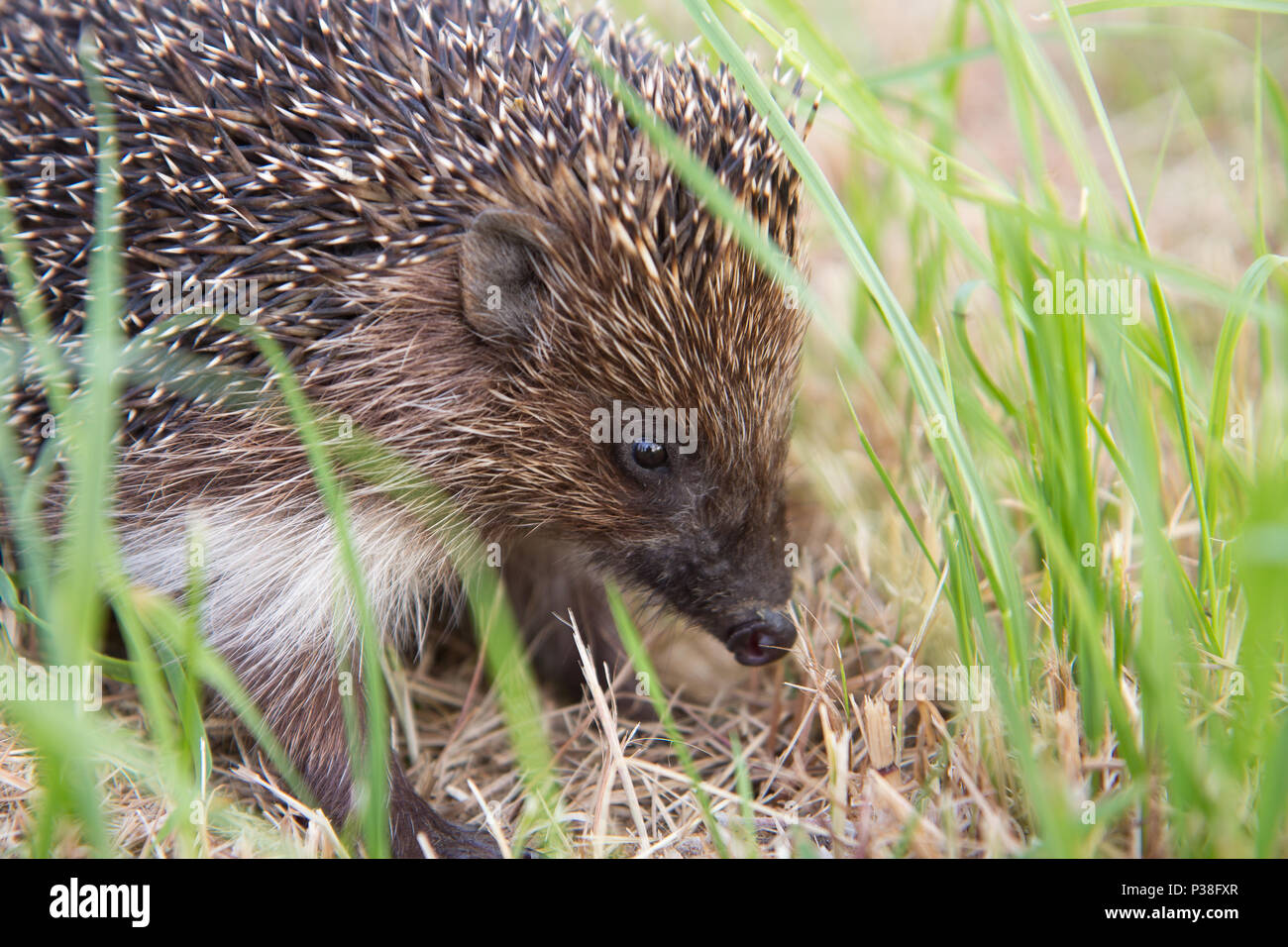 small wild hedgehog - Stock Image