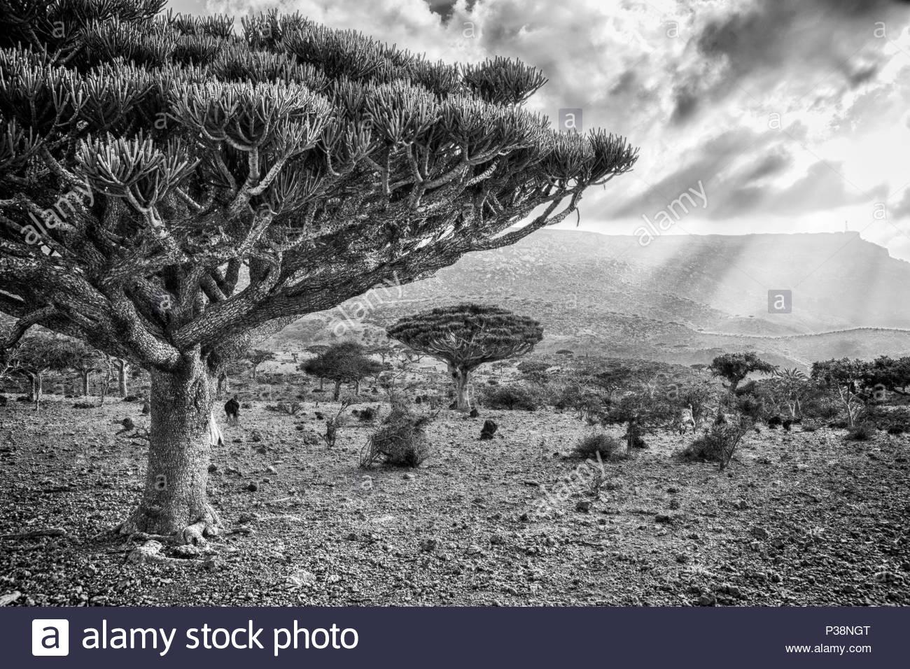 Dracaena Cinnabari - Dragon's Blood Tree - Stock Image