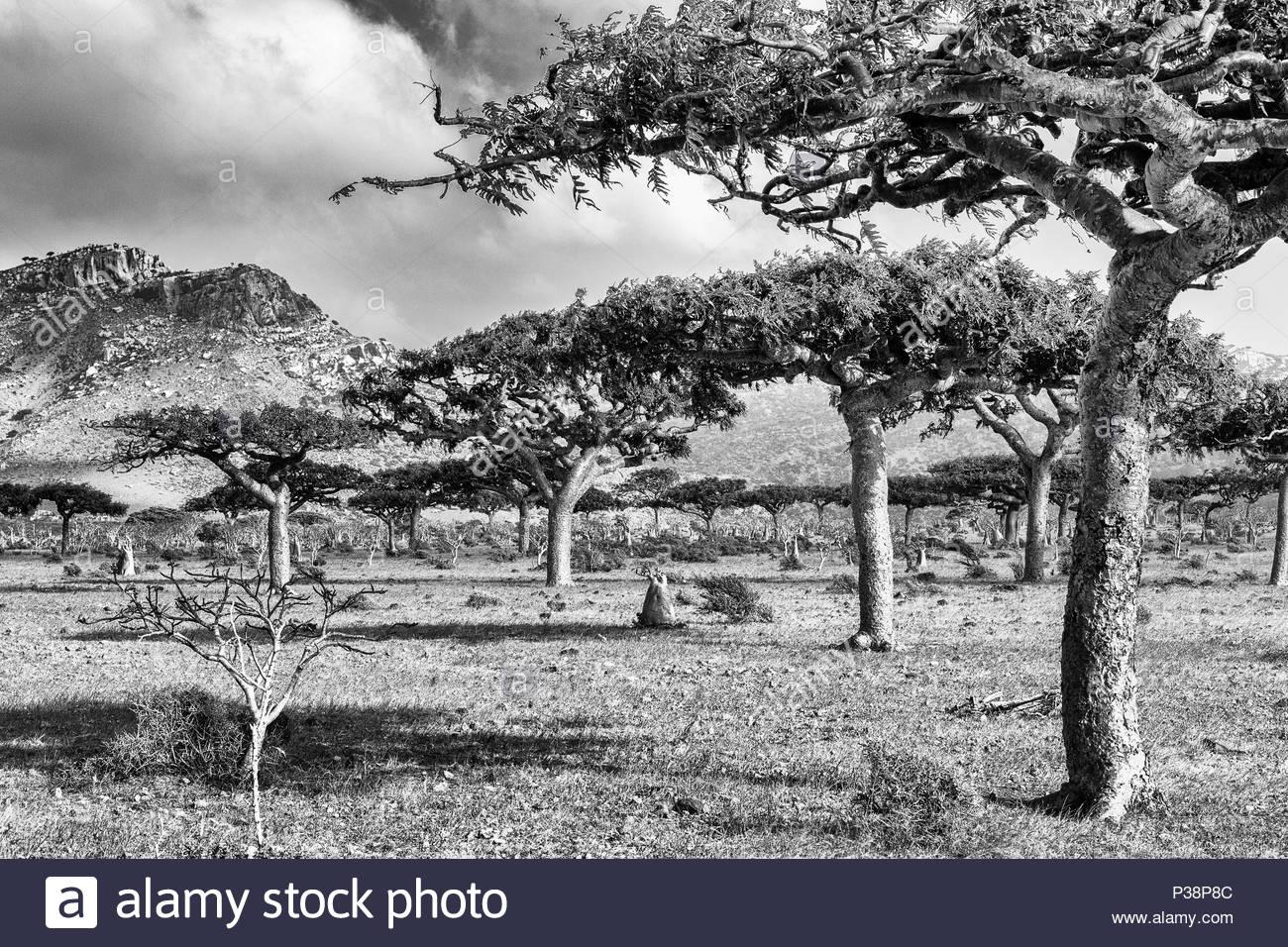 Frankincense Tree- Boswellia socotrana - Stock Image
