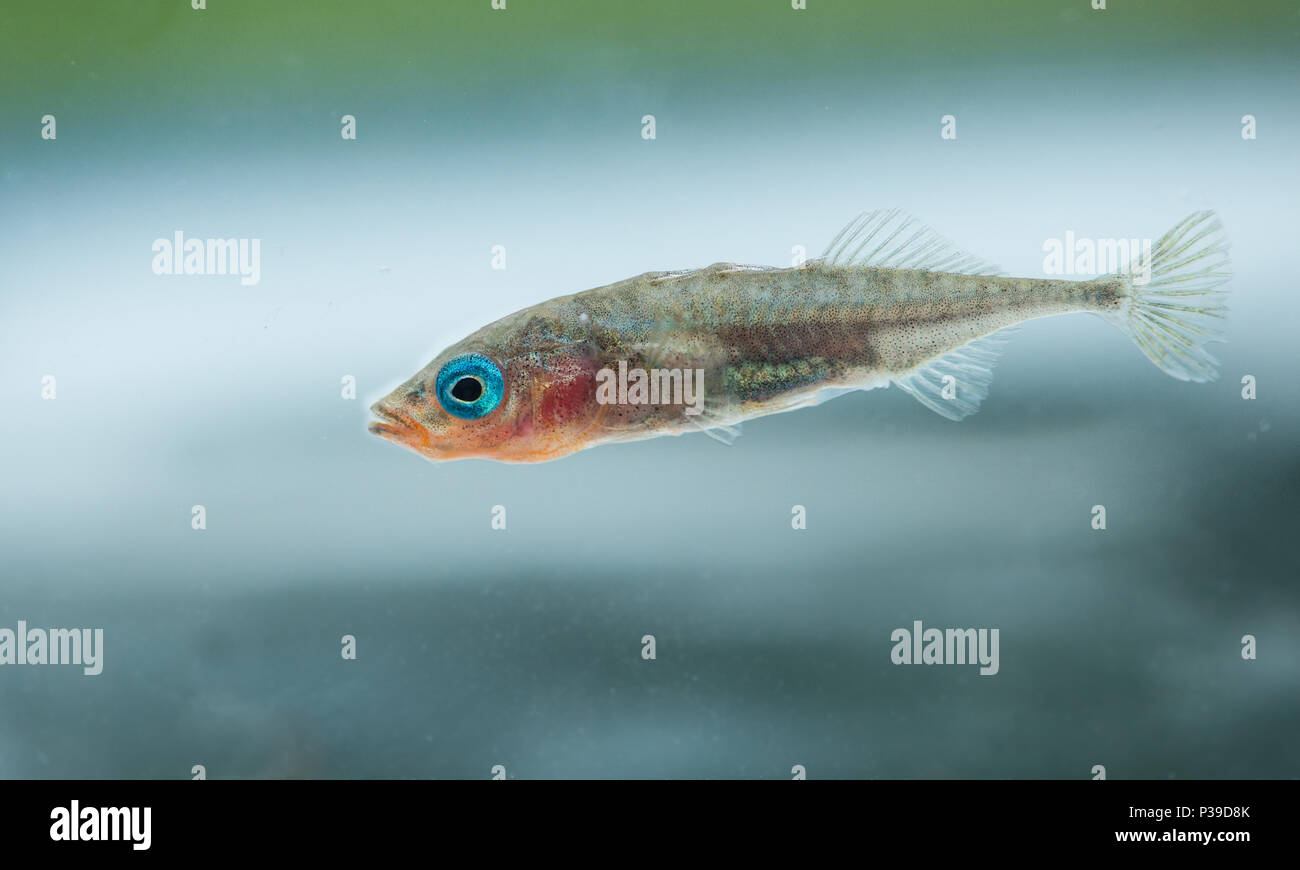 Male three-spined stickleback (Gasterosterus aculeatus) in spawning season colours. - Stock Image