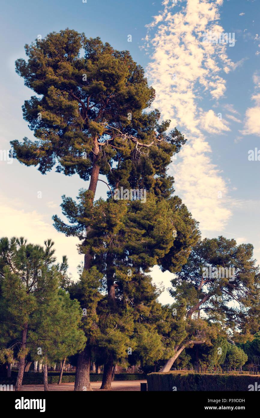 pine walk with a huge pine tree in Retiro Park. Madrid. Spain.  Pinus halepensis - Stock Image