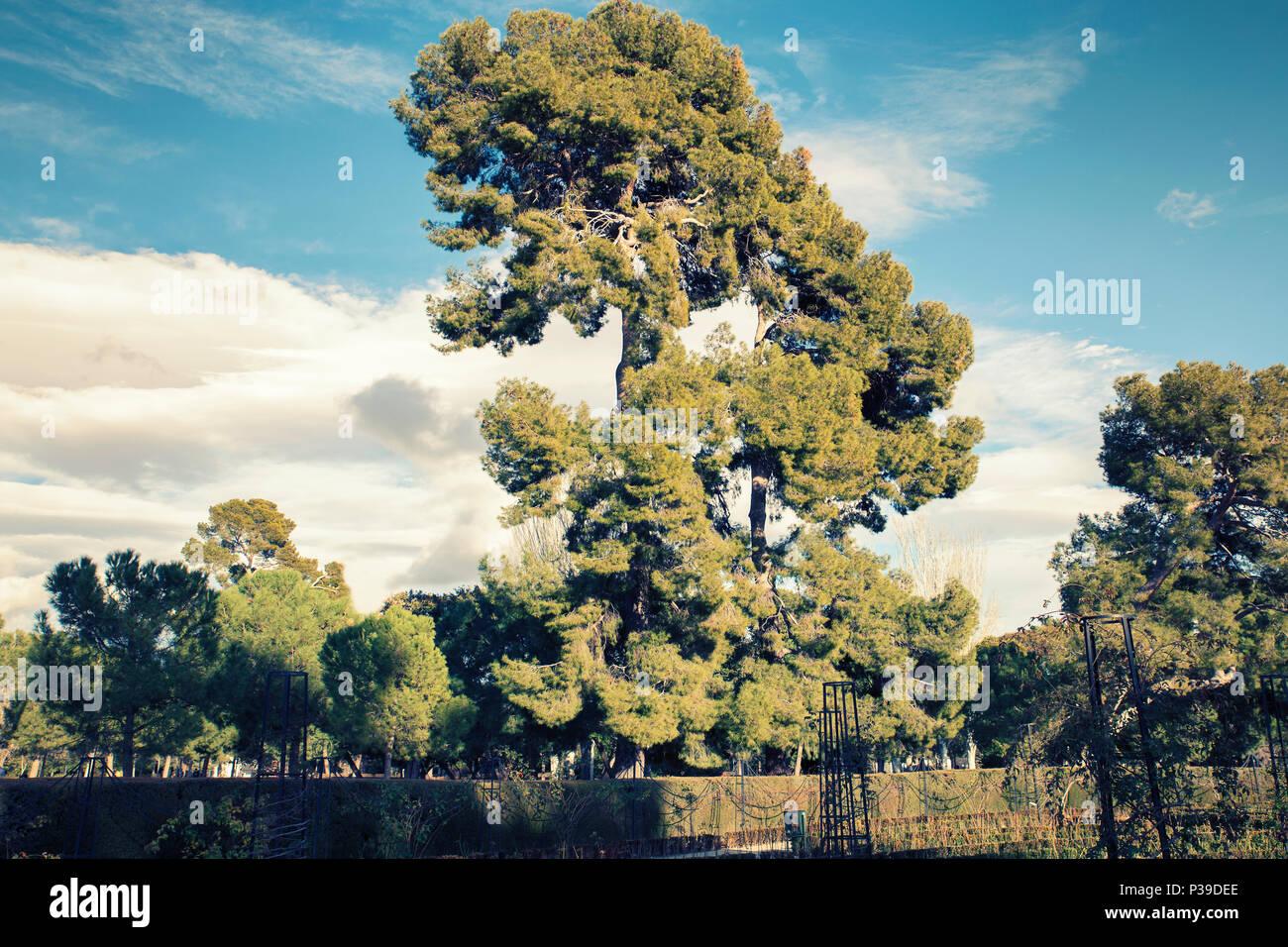 Pines in famous park of madrid. Retiro Park - Stock Image