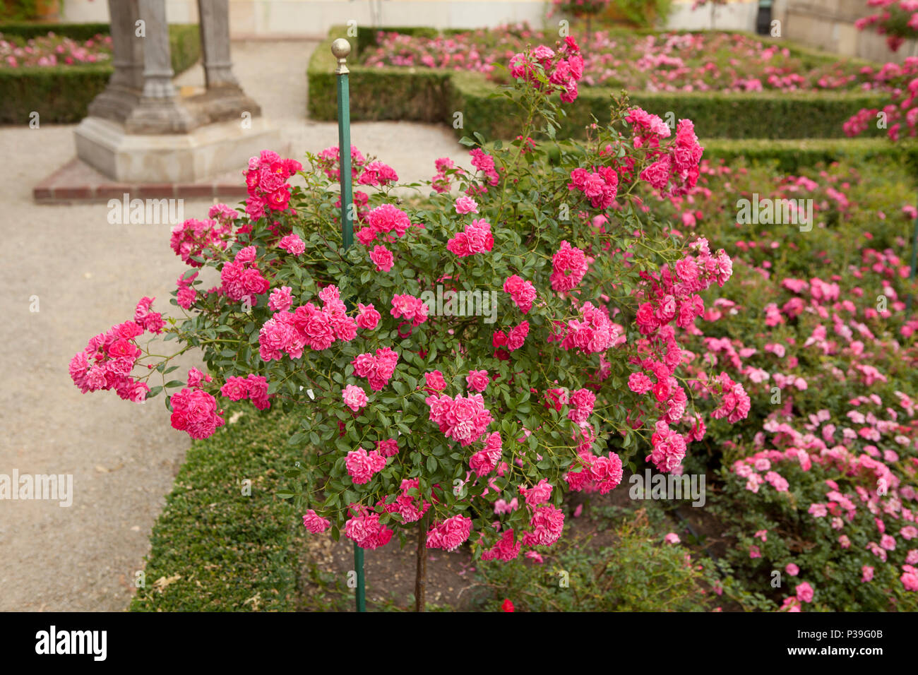 Flower Plant Small Pink Buds Stock Photos Flower Plant Small Pink