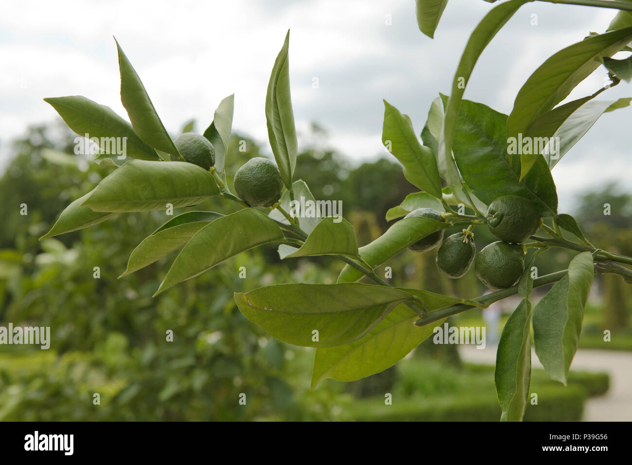 group of green oranges on a twig - Stock Image