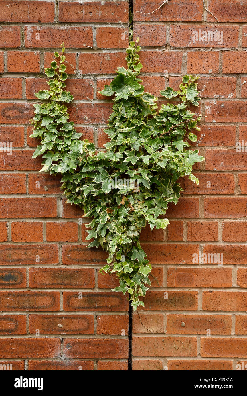 Ivy growing in the crack of a brick wall - Stock Image
