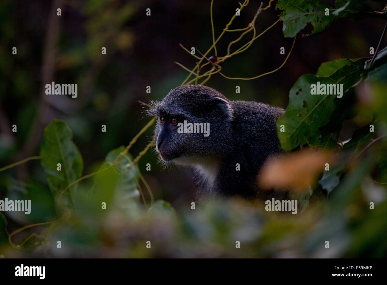 Sykes' monkey peers through the foliage in Tanzania, East Africa.  The white throat patch it from the blue monkey - Stock Image