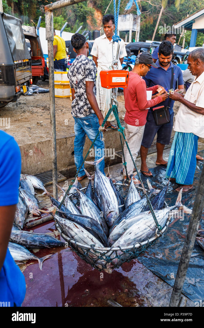 Freshly caught tuna fish on sale being weighed by local fishermen at the quayside fish market in the harbour at Weligama, south coast of Sri Lanka - Stock Image