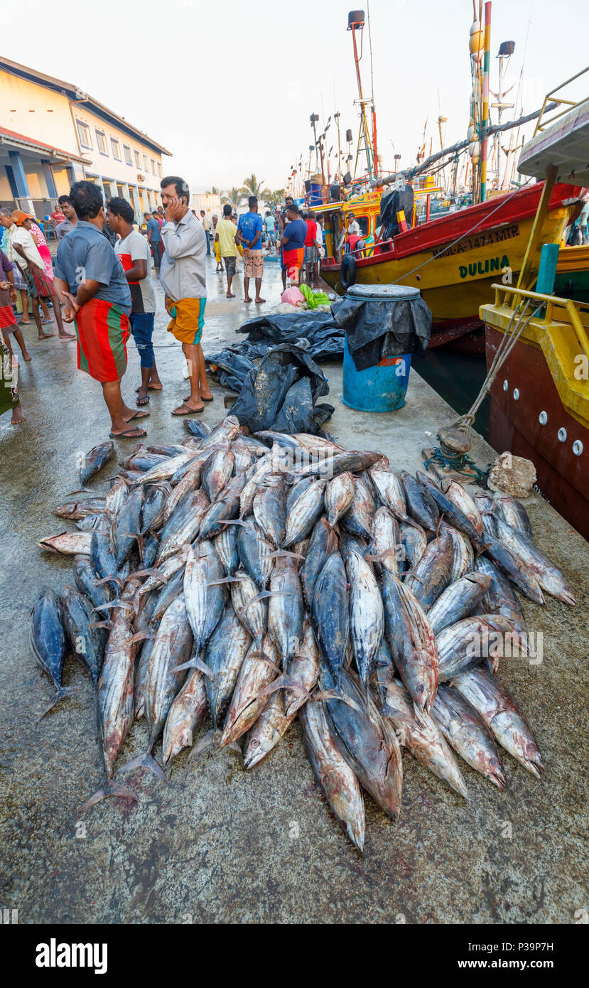 Large freshly caught tuna fish on sale by local fishermen at the fish market quayside in the harbour at Weligama on the south coast of Sri Lanka - Stock Image